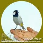 Pycnonotus leucotis